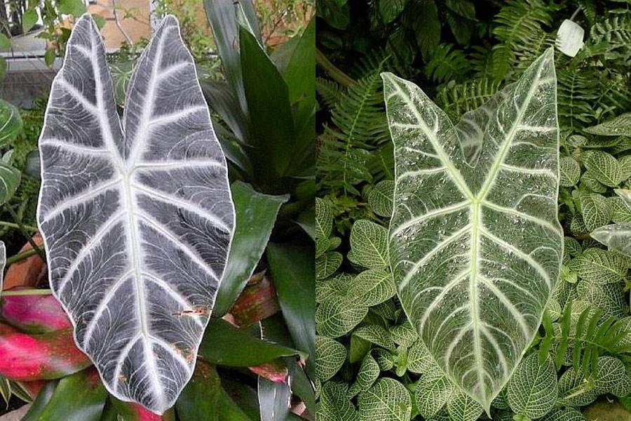 Alocasia longiloba Lowii (Лоуи)