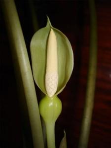 Цветок амазонской алоказии