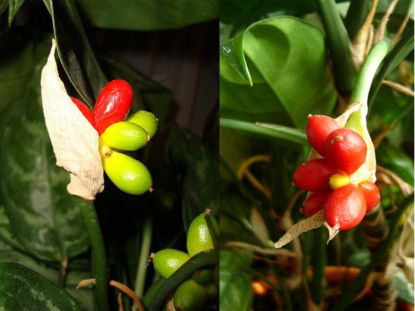 A. commutatum цветущий