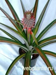 комнатный цветок ананас