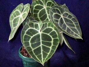 антуриум листья