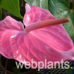 anthurium ferrierense