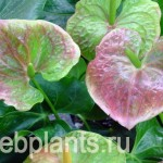 anthurium rainbow