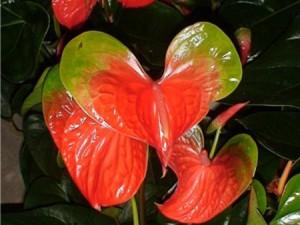 anthurium sunny love