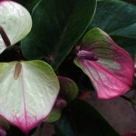 anthurium princess alexia planinum