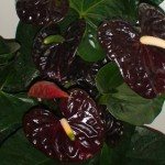 anthurium queen black