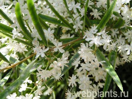 Аспарагус цветение