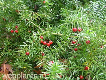 Аспарагус плоды