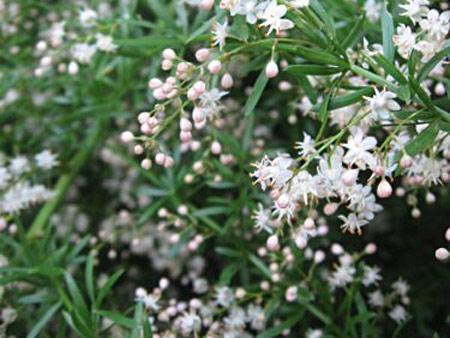 Аспарагус sprengeri (густоцветковый)