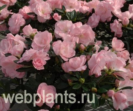 цветы азалия