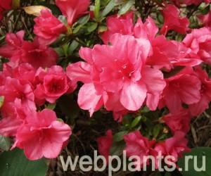 azalea hershey red