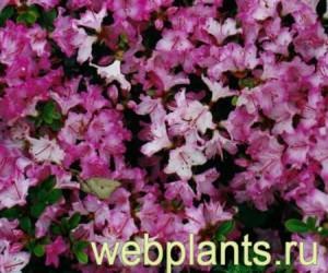 azalea japanese