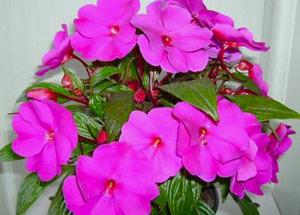 Комнатный Бальзамин - Комнатные растения