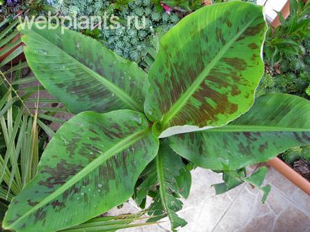 banana tropicana