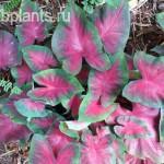 caladium florida cardinal