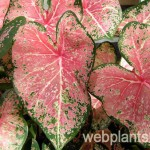 caladium pink cloud