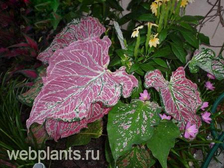 цветы каладиум