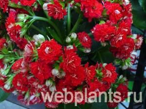calandiva charming-red