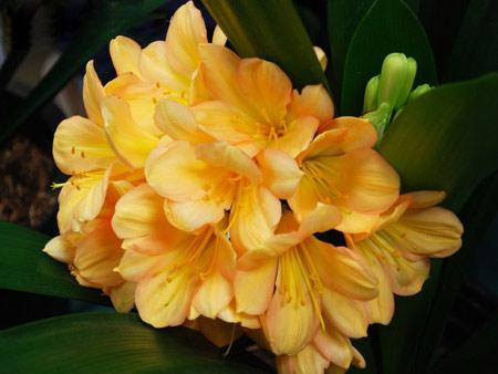 Кливия цветок