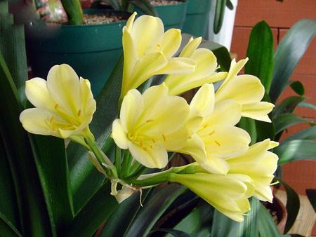 кливия цветок уход