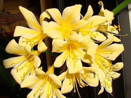 clivia yellow star
