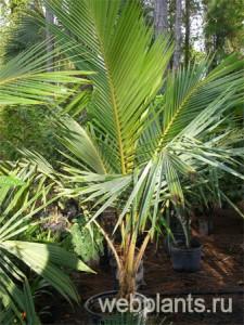 кокосовая пальма фото