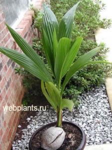 листья кокосовой пальмы