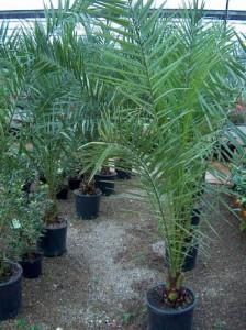 cocos palma