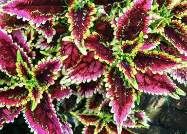 Фото цветок колеос 82