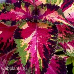 coleus christmas candy