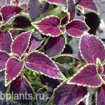 coleus jack of diamonds