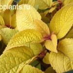 coleus lemon meringue