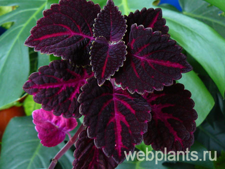 coleus loving heart