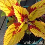 coleus pineapple queen