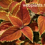 coleus rustic orange