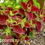 coleus sunset