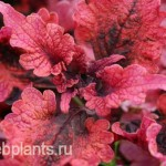 coleus tobasco