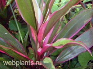 cordyline red edge
