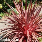 cordyline electric pink