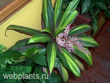 кордилина цветы