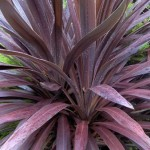 cordyline purple tower