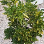 croton aureo maculatum