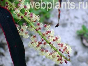 цветок кодиеум