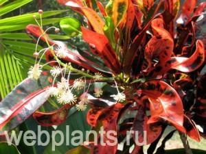 Кротон цветок