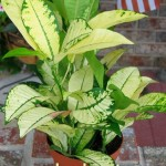 croton yellow iceton
