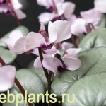 cyclamen pewter group