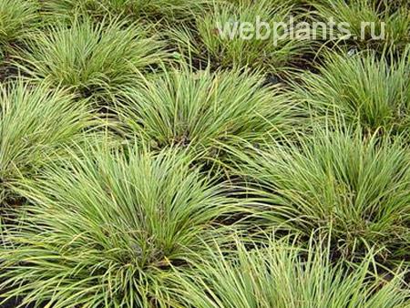 cyperus argenteostriatus