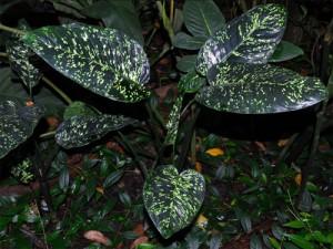 dieffenbachia leopoldii