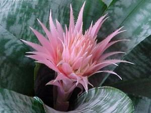 цветы эхмея