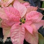 euphorbia pulcherrima cinnamon star